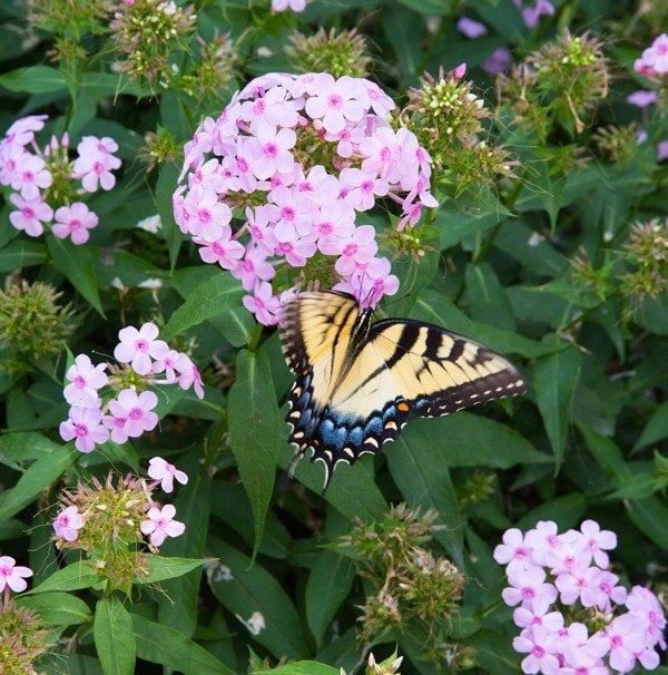 monticello, butterflies