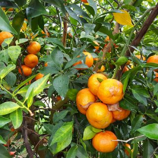 Great Tangerines Just Don't Grow on Trees  #DrinkNoble