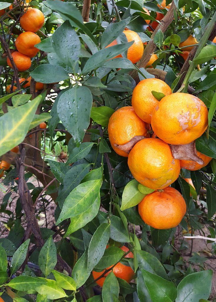 Roe Tangerine