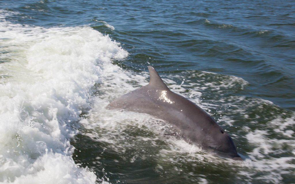 dolphins, pine island, tarpon lodge, cabbage key