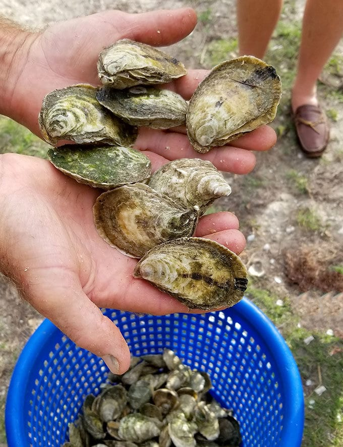 two hands holding fresh oysters with a blue basket of oysters below