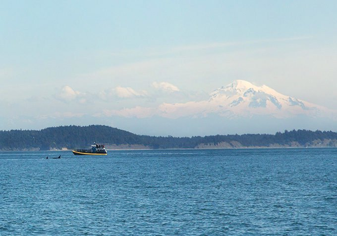 Orcas next to the boat with Mt. Baker in the background