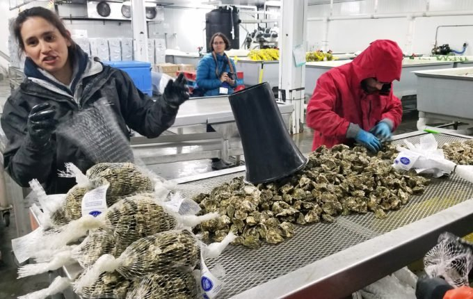 workers going through fresh oysters on Whidbey Island, Washington