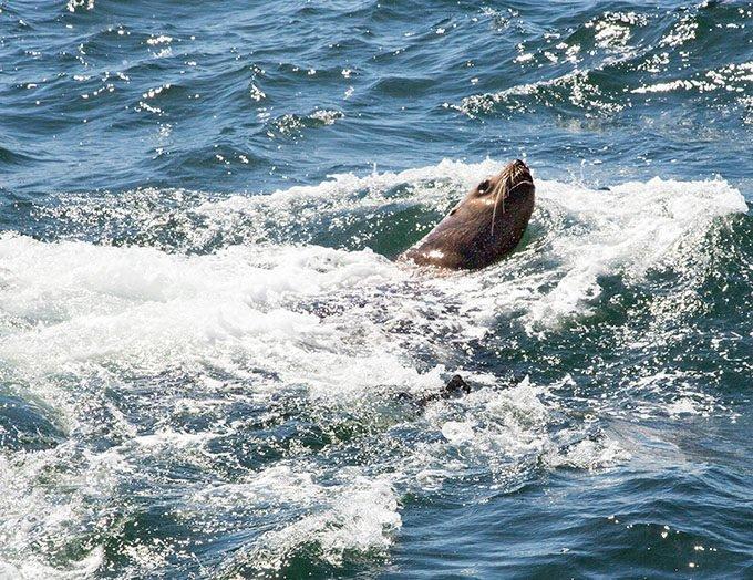 harbor seal frolicking in Puget sound