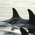 Visit the San Juan Islands for Whale Watching, Adventure and Fine Dining