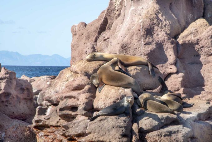 sea lions sleeping opn the rocks in the sea of cortez